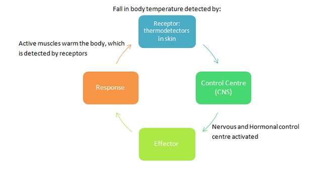 investigation body temperature regulation Homeostasis and negative feedback - concepts and breathing experiments1 thermostat for body temperature regulation is in the brain and normally has a set point of ~37°c) for a scientific investigation to yield accurate results.